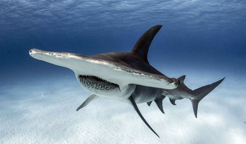 Hammerhead Shark Key West